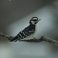 Downy Woodpecker by Craig Hosterman