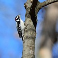 Downy Woodpecker by Jo-Ann Matthews