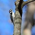 Downy Woodpecker by Jo-Ann Matthews