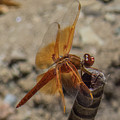 Dragonfly 18 by Christy Garavetto