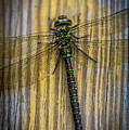 Dragonfly  by Sherman Perry