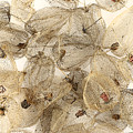 Dried Fruits Of The Cape Gooseberry by Michal Boubin