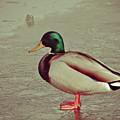Duck by Brenton Woodruff