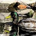 Duck by David Rosenthal