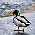 Duck On Ice by Brenton Woodruff