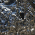 Eagle In Tree by Ernie Echols