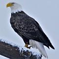 Eagle by John Adams