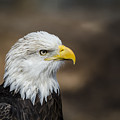 Eagle Profile by Andrea Silies