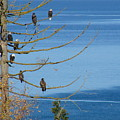 Eagle Tree By The Salish Sea by Ed Mosier