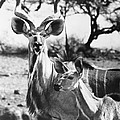 East Africa: Kudu by Granger