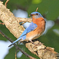 Eastern Bluebird by Mike Dickie