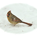 Eastern Cardinal - Cardinalis Cardinalis by Mother Nature