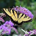 Eastern Tiger Swallowtail Butterfly 2015 by Karen Adams