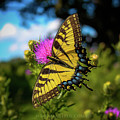 Eastern Tiger Swallowtail by Maria Costello