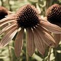 Echinacea Garden by Andrea Anderegg