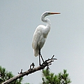 Egret by J M Farris Photography