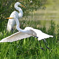 Egret Takes Flight by Dan Williams