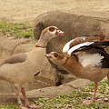 Egyptian Geese by Diane Schuler