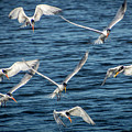 Elegant Terns Diving For Fish by Donald Pash