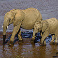 Elephant Crossing by Michele Burgess