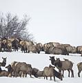 Elk Herd In The Snow by Carolyn Fox