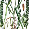 Elymus Repens, Commonly Known As Couch Grass by Bildagentur-online