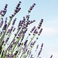 English Lavender by Neil Overy