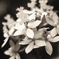 Epidendrum Orchid by Allan Seiden - Printscapes