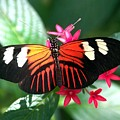 Erato Longwing by William Evans