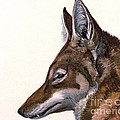 Ethiopian Wolf, Endangered Species by Biodiversity Heritage Library