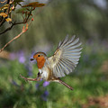 European Robin Alighting by Warren Photographic