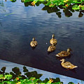 Exotic Birds Of America Ducks In A Pond by Navin Joshi