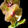 Exotic Orchid Bloom by Julie Palencia