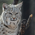Face Of A Canadian Lynx by DejaVu Designs