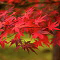Fall Color Maple Leaves At The Forest In Aomori, Japan by Eiko Tsuchiya