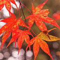Fall Color Maple Leaves At The Forest In Kochi, Japan by Eiko Tsuchiya