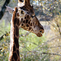 Fall Giraffe I by Angie Dixon