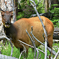 Female Elk Yellowstone by Hughes Country Roads Photography