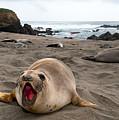 Female Northern Elephant Seal  Mirounga Angustirostris by Eyal Nahmias