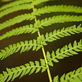 Fern Pattern by Ron Dahlquist - Printscapes