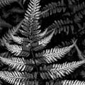 Ferns by Robert Ullmann
