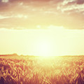 Field, Countryside At Sunset. Harvest Time. Vintage by Michal Bednarek