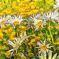 Field Of Daisies by Claire Bull