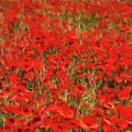 Field Of Poppies by Sarah Kirk