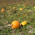 Field Of Pumpkins by Ted Kinsman