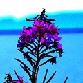 Fireweed by Tim Beebe