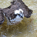 Fish Eagle Bird Playing In Water by DejaVu Designs