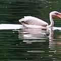 Fishing Pelican by Valia Bradshaw