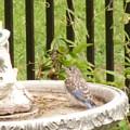 Fledgling Bluebird At Birdbath by Jeanne Kay Juhos