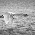 Flight Of The Swan by Pixabay